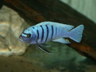 Cynotilapia sp. Hara Gallireya Reef WF