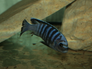 Cynotilapia sp. white top Likoma WF
