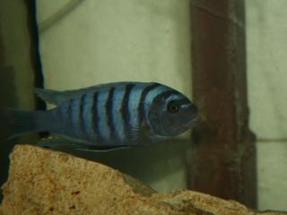 Metriaclima Black Blue Boadzulu F1
