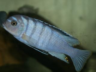 metriaclima cyneusmarginatus nkhomo reef